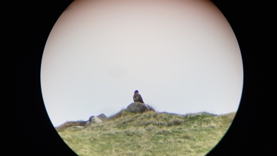 Local wildlife - golden eagle