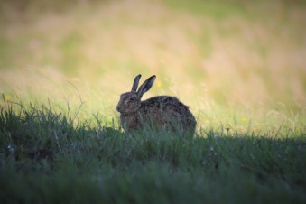 Local wildlife - hares